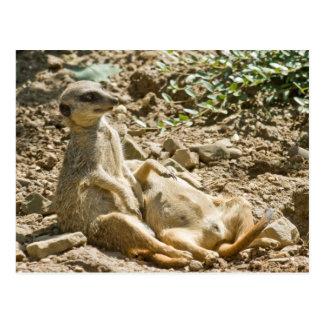 Postal de Meerkats que toma el sol