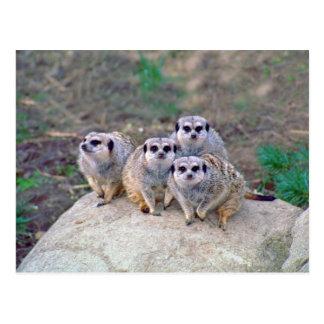 Postal de mirada de 4 Meerkats