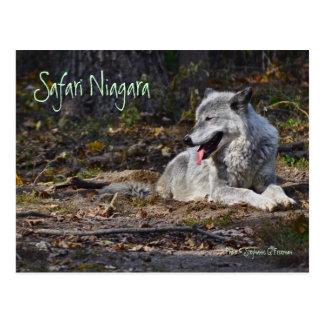 Postal de Niágara del safari - lobo gris