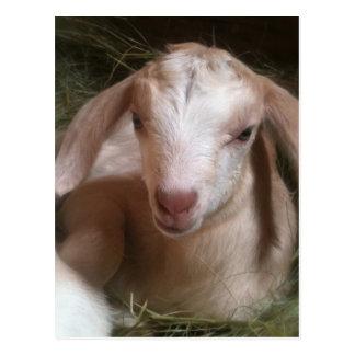 Postal de oro recién nacida del niño de la cabra