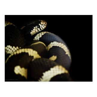 Postal de rey serpiente de California
