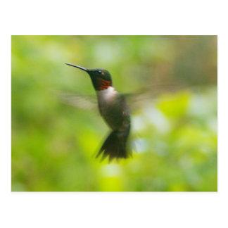 Postal de rubíes masculina del colibrí de la