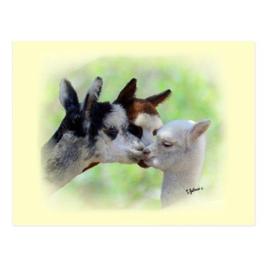 Postal de tres alpacas