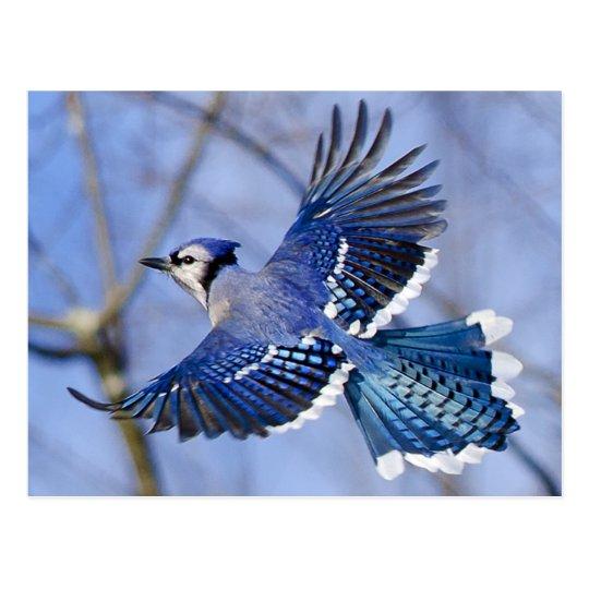 Postal del arrendajo azul en vuelo