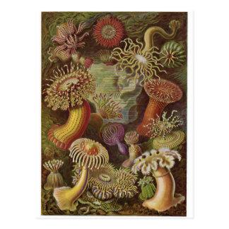 Postal del arte de Ernst Haeckel: Actiniae