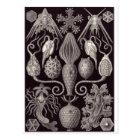 Postal del arte de Ernst Haeckel: Amphoridea