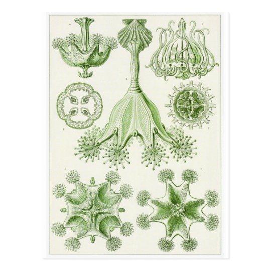 Postal del arte de Ernst Haeckel: Stauromedusae