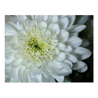 Postal del crisantemo