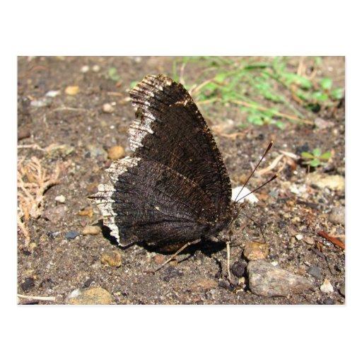 Postal del ~ de la mariposa de capa de luto