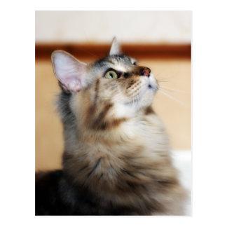 Postal del gatito - gato de Coon de Maine