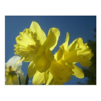 Postal del jardín de los narcisos de la primavera