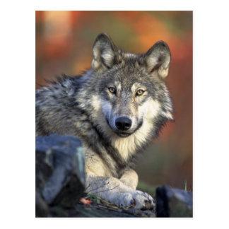 Postal del lobo