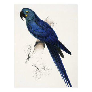 Postal del Macaw del jacinto