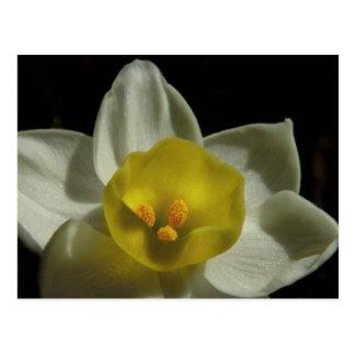 Postal del narciso de la primavera