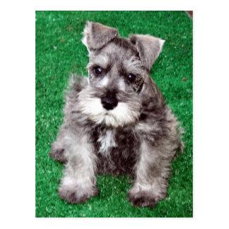 Postal del perrito del Schnauzer miniatura
