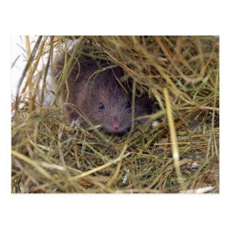 Postal del ratón de campo