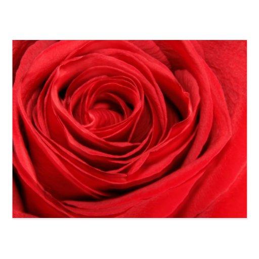 Postal del rosa rojo