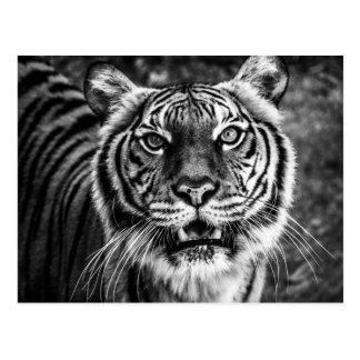 Postal del tigre