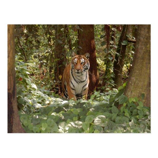 Postal del tigre de Bengala (7x5)