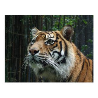Postal del tigre de Sumatran