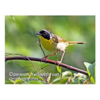 Postal del Yellowthroat común