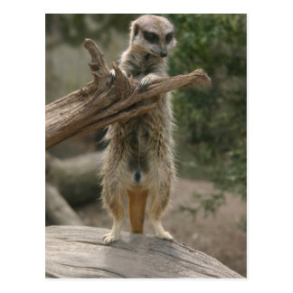 Postal derecha de Meerkat
