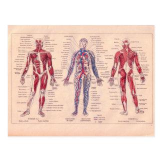 Postal Diagrama francés del vintage del cuerpo humano