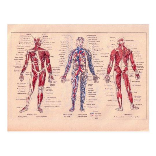 Postal Diagrama francés del vintage del cuerpo humano   Zazzle.es