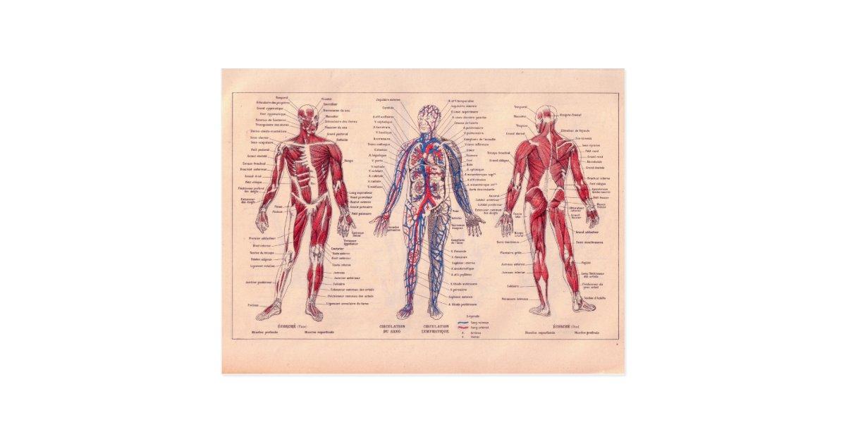 Postal Diagrama francés del vintage del cuerpo humano | Zazzle.es
