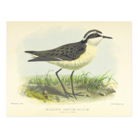 Postal Dibujo 1875 del pájaro del vintage de St. Helena