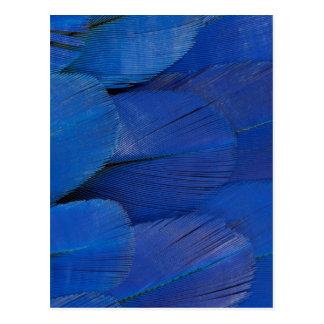 Postal Diseño azul de la pluma del Macaw del jacinto