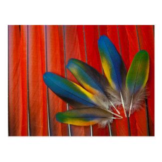 Postal Diseño de la pluma del Macaw del escarlata