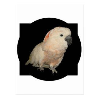 Postal Diseño moluqueño del loro de Cockatoo