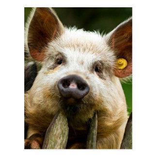 Postal Dos cerdos - granja de cerdo - granjas del cerdo