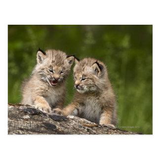 Postal Dos gatitos del lince de Canadá (lince Canadensis)