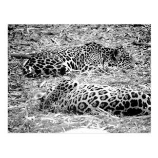 Postal dos jaguares ennegrecen el animal blanco el dormir