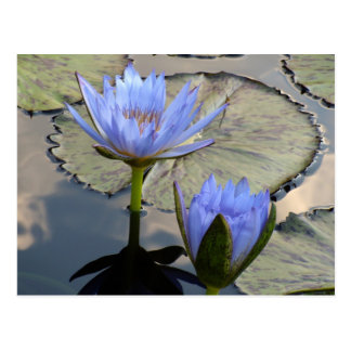 Postal Dúo de Lotus azul