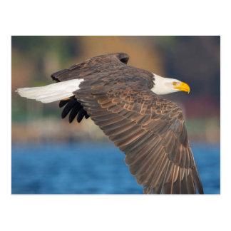 Postal Eagle calvo adulto vuela bajo sobre el agua
