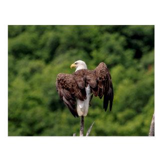 Postal Eagle calvo en una rama