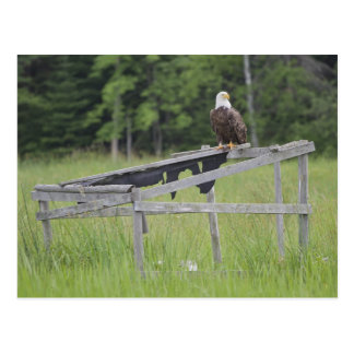 Postal Eagle calvo se encaramó encima de una persiana del