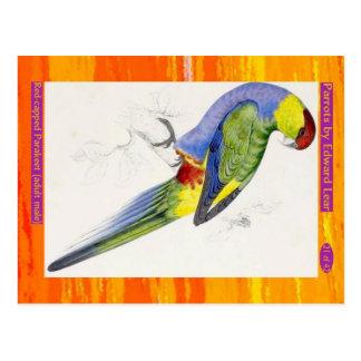 Postal Edward Lear. Parakeet Rojo-capsulado. Varón adulto