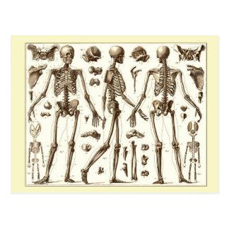 Postal Ejemplo científico del esqueleto humano