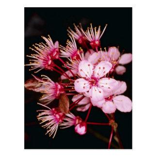Postal El detalle rojo del flor del árbol de ciruelo