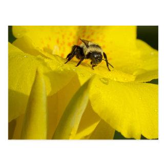 Postal El lirio de Canna con manosea la abeja
