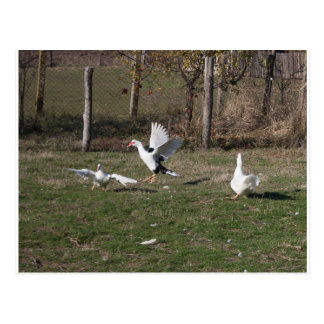 Postal El luchar de los gansos