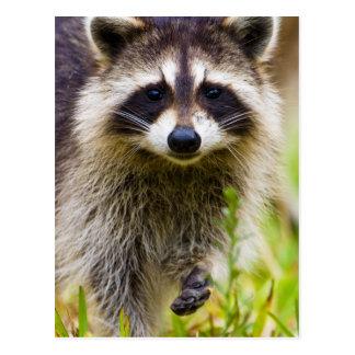 Postal El mapache, lotor del Procyon, es un extenso, 3