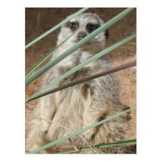 Postal El mirar a escondidas de Meerkat