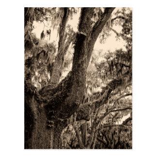 Postal El musgo español adornó Live Oak en tonos de la