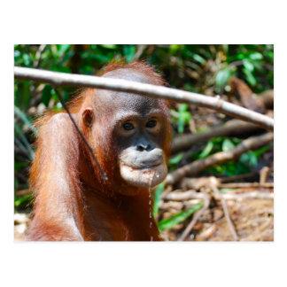 Postal El orangután joven bebe el agua en la isla de