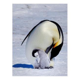 Postal El Preening del pingüino y del polluelo de